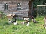 Die Entenbande begrüsst die Neuankömmlinge
