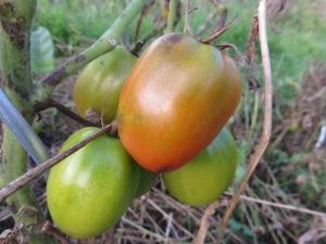 tomaten-bf2