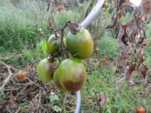 tomaten-bf4