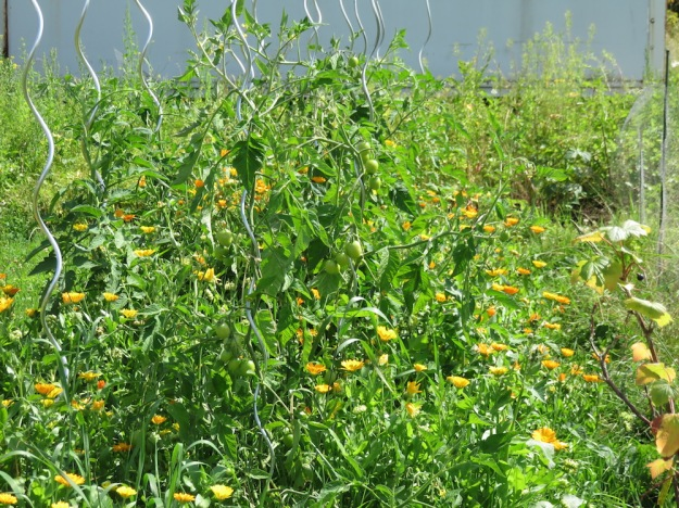 tomaten-ringelblumen-mischkultur