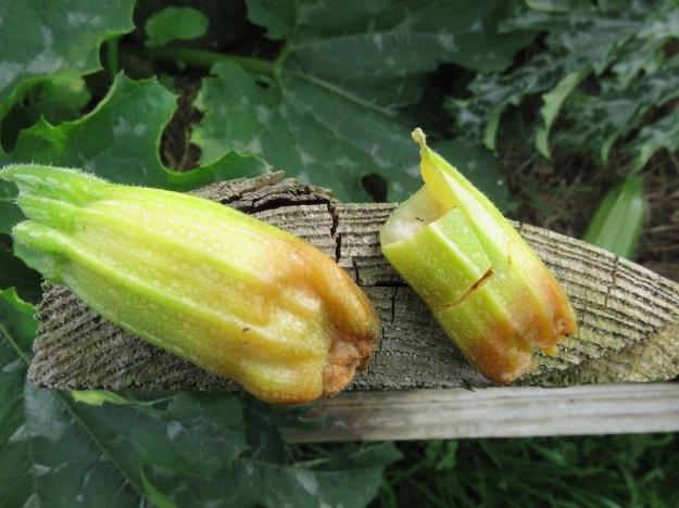 zucchinifaeule