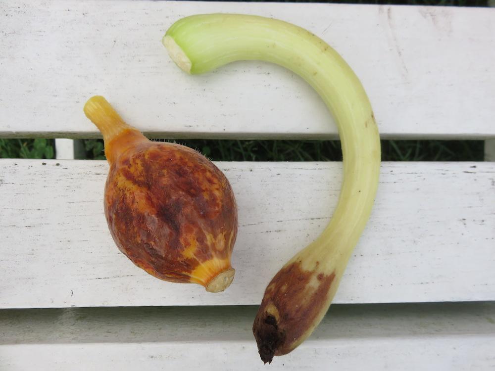 Faulende Zucchini Landidylle