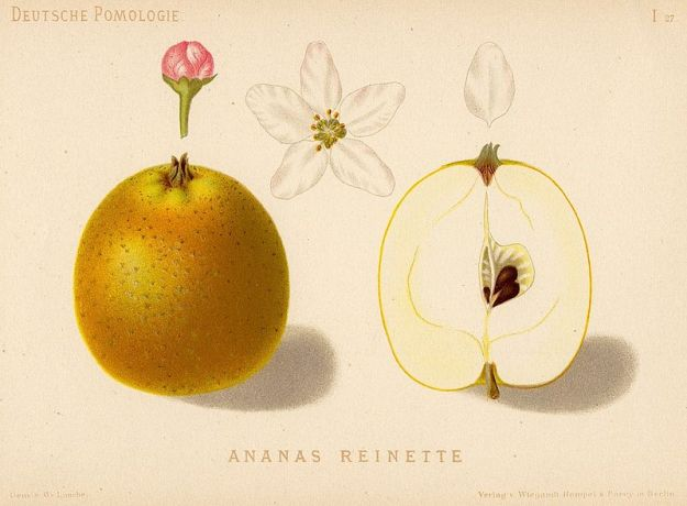 ananasrenette-zeichnung