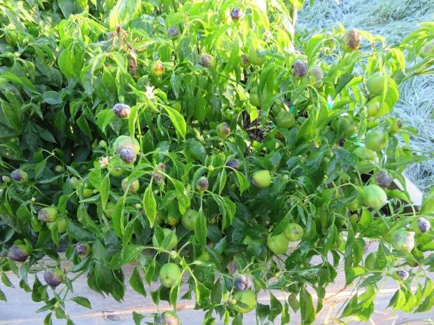 paprikapflanzen3