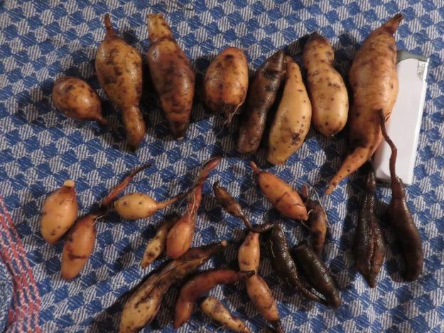 suesskartoffelernte2-25.10