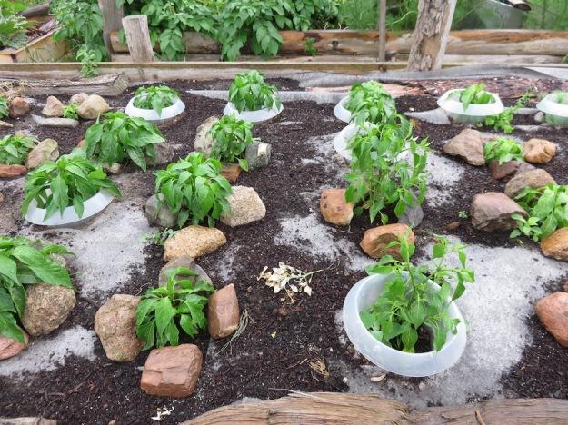 Paprikapflanzen am 5.Juli