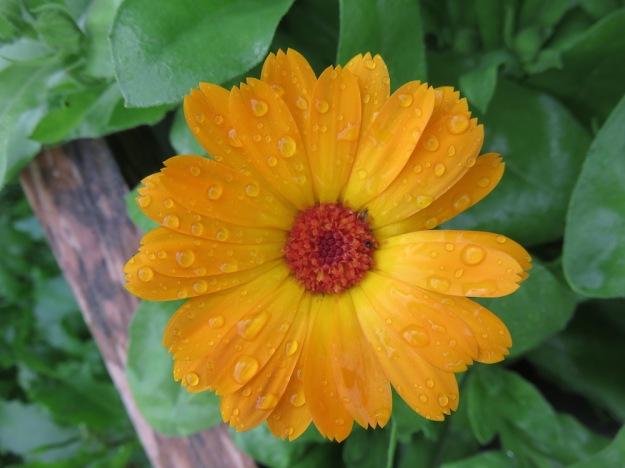 ringelblume im Garten