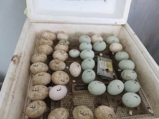 Grüne Eier von Pommernenten
