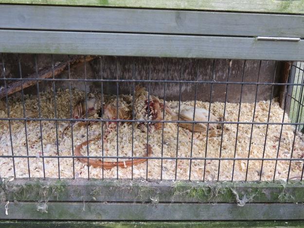 Wachteln tot im Kaninchenstall