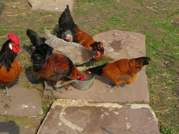 Hühner trinken Tibica-Wasser (Wasserkefir)