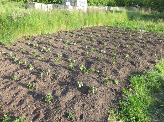 landgewinnung-kartoffeln-bohnen