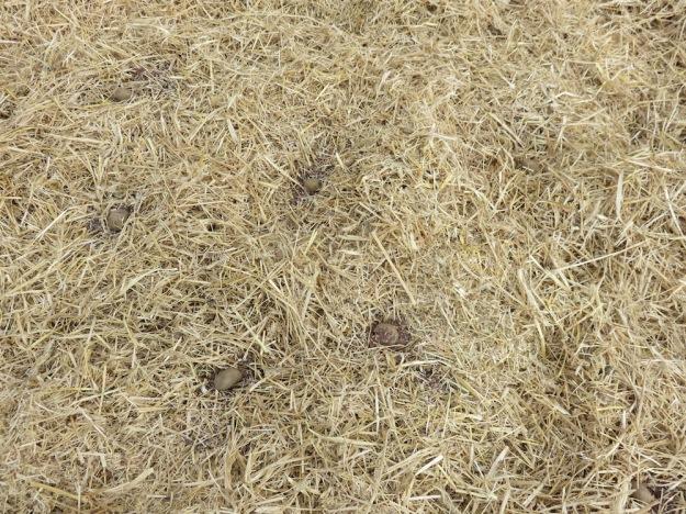 landgewinnung-strohkartoffeln-hornspaene