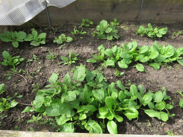 Frühkartoffeln 'Roter Erstling' und Spinat
