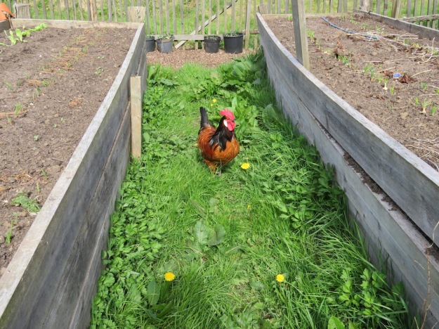 Zwischen den Beeten ist die Hühnerfreiheit grenzenlos