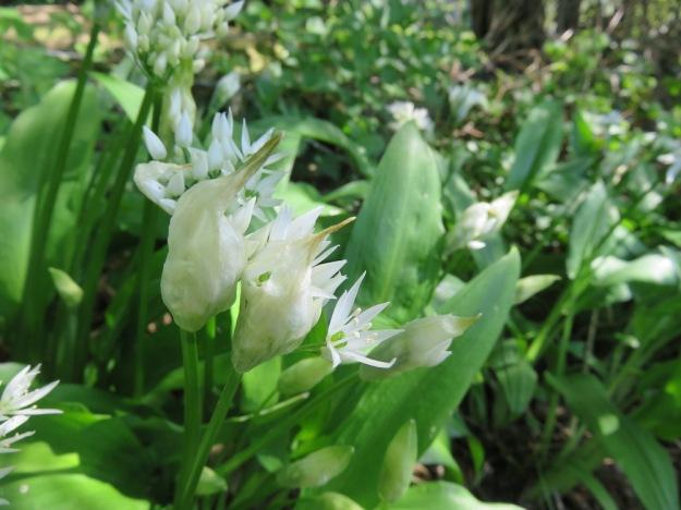 Bärlauch mit Blüten