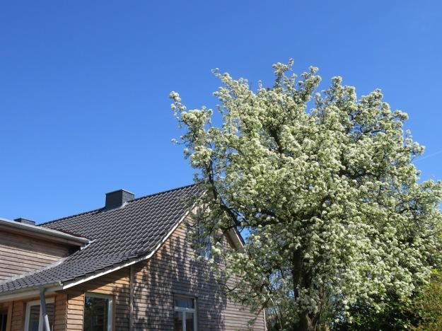 Uralter Birnbaum, höher als das Haus
