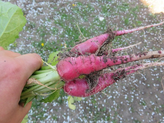 Rettich 'Ostergruß rosa'