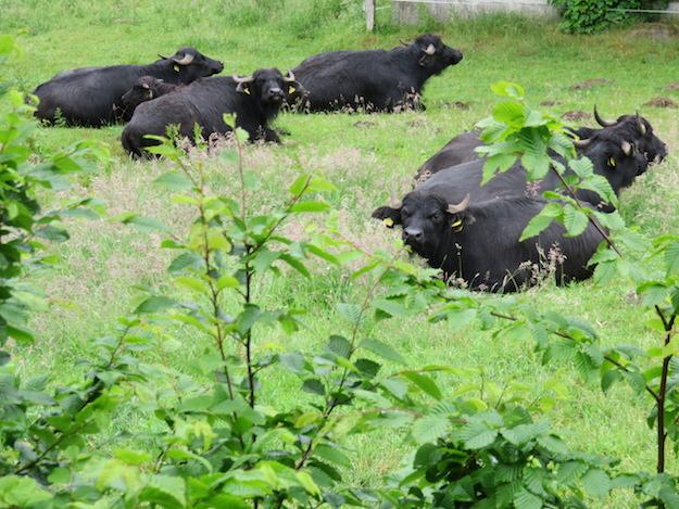 Faule Büffel bei Regenwetter