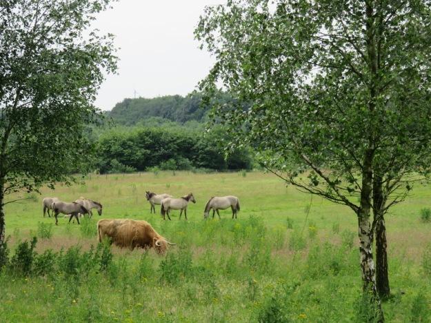 konik-büffel