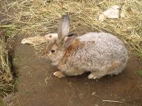 Stammvater der landidyllischen Kaninchenzucht?