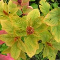 Gelbgrüner Amaranth