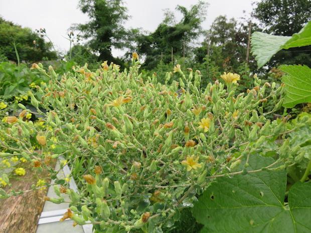 Blühender Salat