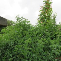 Wildtomaten im Dschungel mit Feuerbohnen, Zitronenverbene, Minzen und unbekannten anderen überwucherten Gewächsen