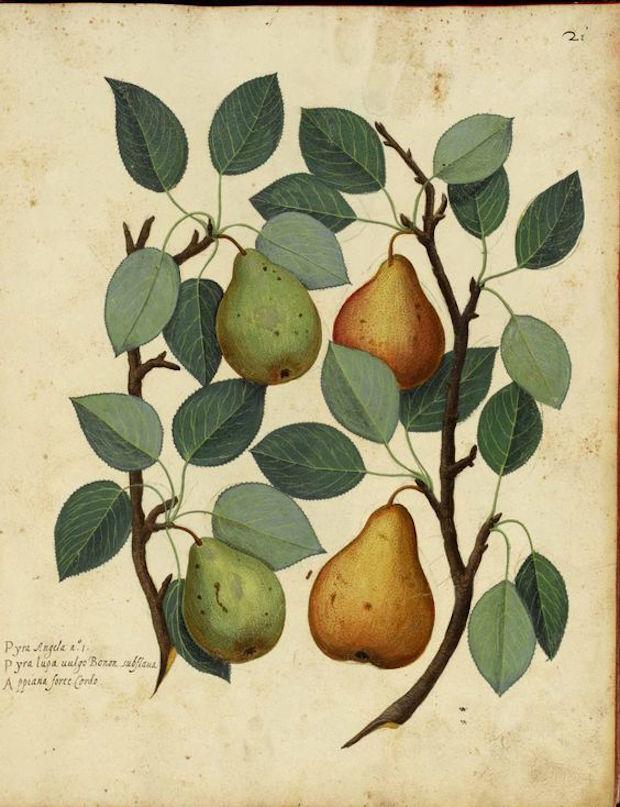birnen-illustr