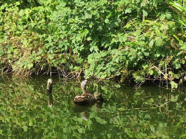 Entenidylle auf dem Teich