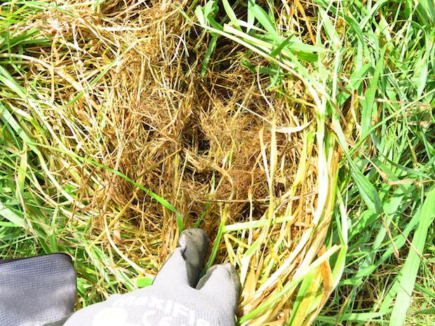 Verfilztes Gras dort wo die Brennnesseln verbuschten, die Koppel muss dringend mehr beweidet werden.