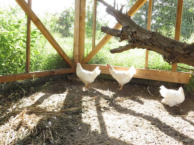 Die neuen Hühner sind Grünleger.