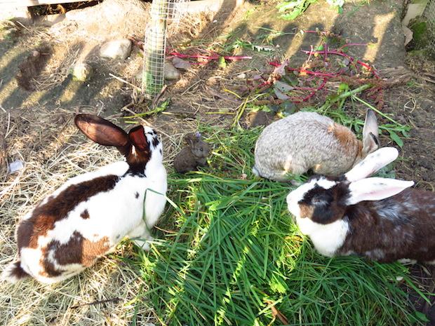 kaninchen-familie