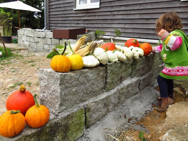 Die ersten Kürbisse sind geerntet: 'Jack be little', Patissons und Hokkaidos sitzen auf der frisch errichteten Trennmauer