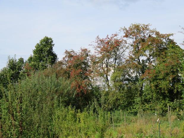 Weissdorn trägt rote Früchte und hat die Blätter zum großen Teil verloren