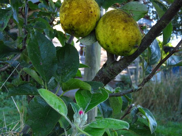 Ananasrenette mit Blüte und Frucht