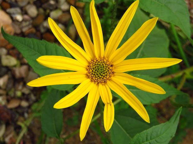 Helianthi-Blüte