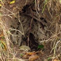 In einem alten Dachsbau nisten Wespen