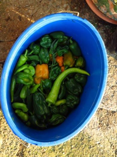 Paprika und Chili, der fehlende Sommer hat die fehlende Ernte zu verantworten