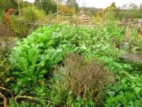Noch ein Winterbeet mit verblühtem Salat als Saatgutspender