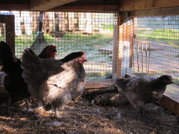 Hühner sind während Stallpflicht unzufrieden