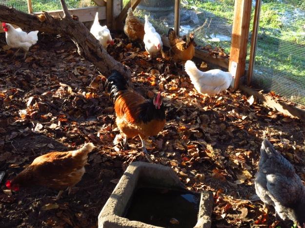 Laub im Stall, Hühner scharren und picken