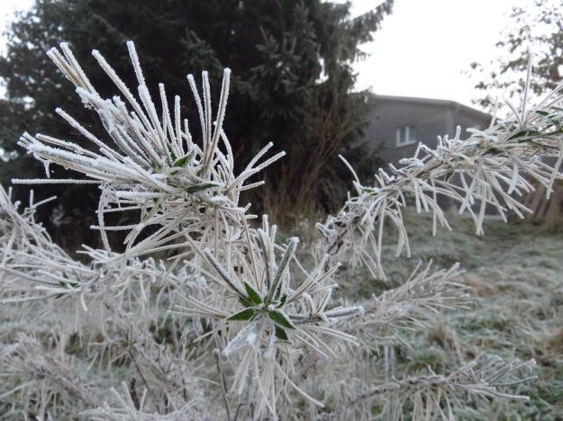 Landidyllisches Unkraut mit Eiskristallen