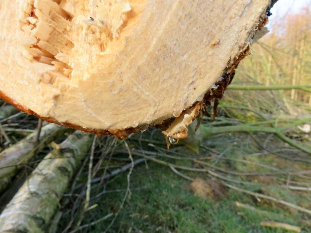 Blutender Baum