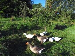 Obstgarten mit Weidegänsen