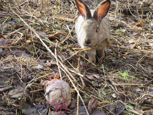 kaninchen-rote-bete