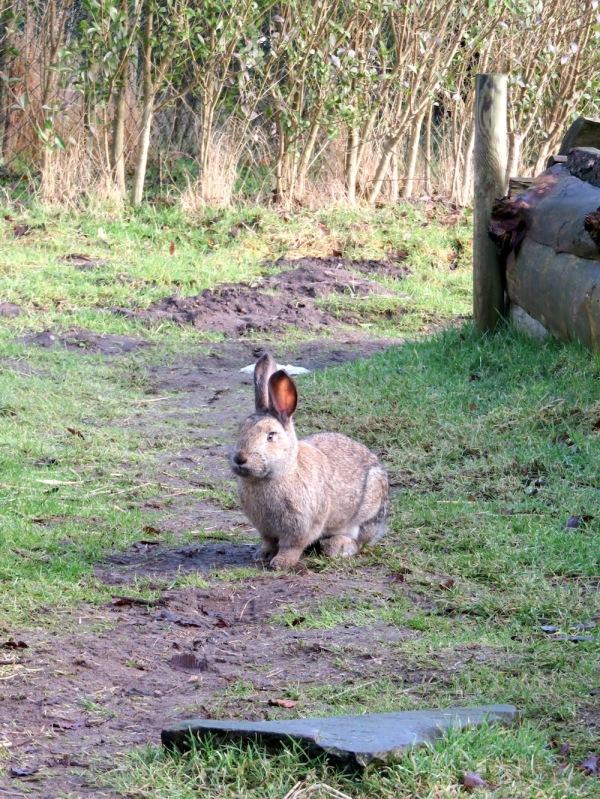 zahmes-kaninchen