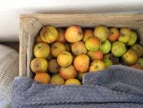 Lageräpfel in der Holzkiste Ende März