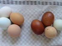 Links: derzeitige Eierfarben, rechts neu: Marans, Bielefelder Kennhuhn, Cream Legbar