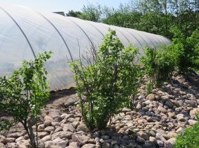 Streinmulch und Abstrahlung vom Folientunnel verfrühen die Reifung der Beerensträucher