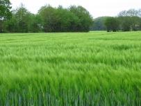 Getreidefeld, 2017 ein seltenes Bild